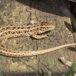 カナヘビの脱皮の頻度とは