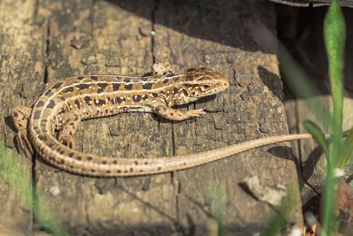 カナヘビ 脱皮 頻度