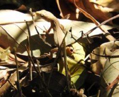 カナヘビ 子供 飼育