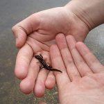 カナヘビの足って、再生するの?